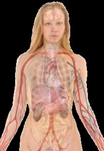 Transparent ciało człowieka skanowane kobieta organy